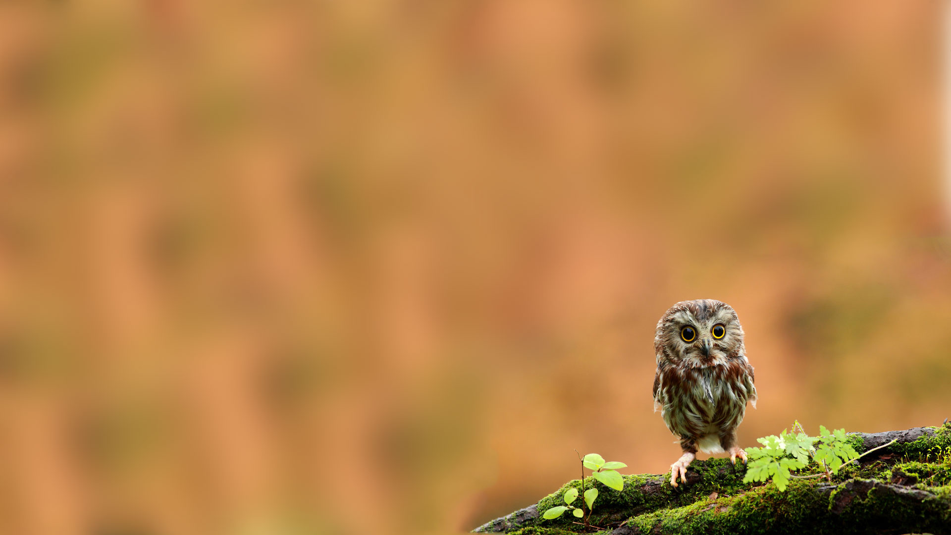 Cute-Owlet-full... Owl Desktop Wallpaper Hd